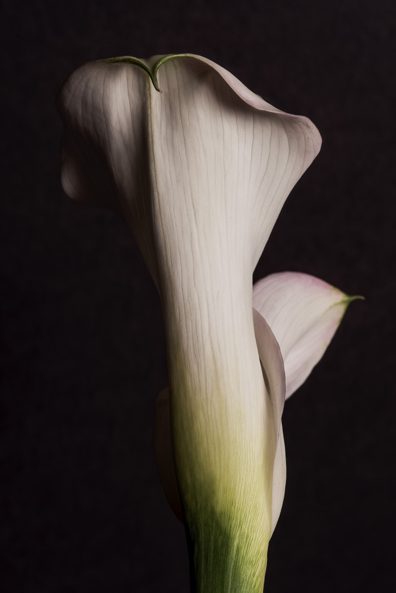 Mysterious Calla | Fort Worth